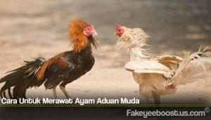Cara Untuk Merawat Ayam Aduan Muda