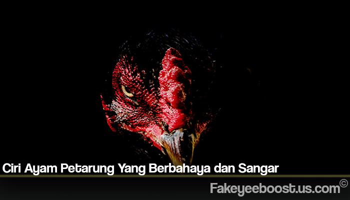 Ciri Ayam Petarung Yang Berbahaya dan Sangar