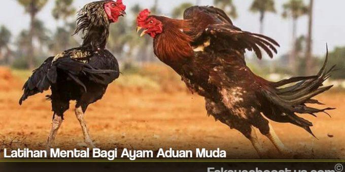 Latihan Mental Bagi Ayam Aduan Muda