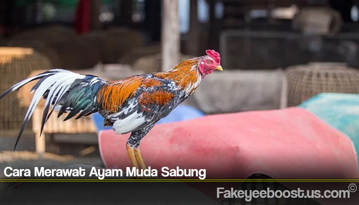 Cara Merawat Ayam Muda Sabung
