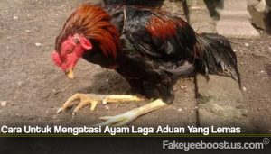 Cara Untuk Mengatasi Ayam Laga Aduan Yang Lemas
